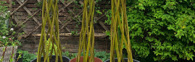 Willow Harlequin Tree - Flittons Nursery