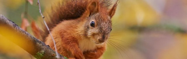 Zoom Watercolour Art Workshop with David Harvey - A Squirrel for Christmas.