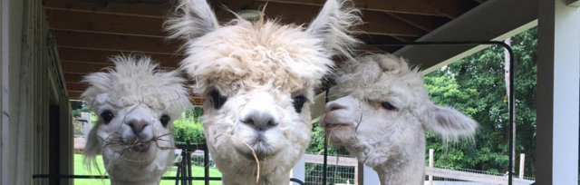 Alpaca 201 - Handling and getting in their Heads!!