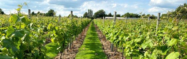 Laurel Vines Vineyard open afternoon