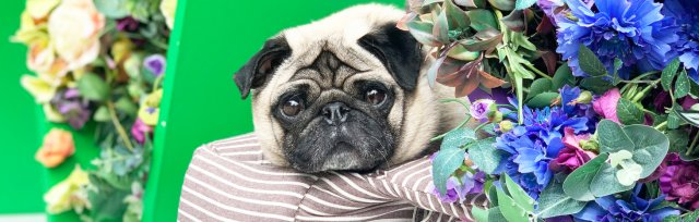 Pug Cafe Newcastle - Summer of Love