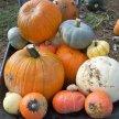 Country Pumpkins PYO image